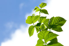 Raspberry leaves. Some raspberry leaves on a background of clear sky royalty free stock images