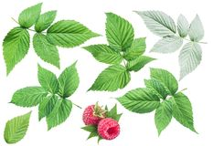 Raspberry leaves on white background. Royalty Free Stock Photography