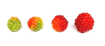 Raspberry life cycle Stock Image