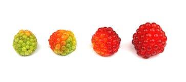 Raspberry life cycle Stock Image