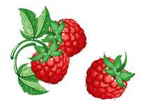 Raspberry, model with EPS file stock images