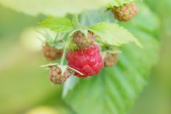 Raspberry in nature. macro. In the park in nature stock photo
