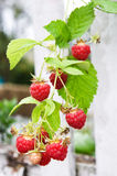 Raspberry over fence. Twig of raspberry over white fence Stock Photos