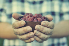 Raspberry in palm. Man with a handful of raspberries Stock Image