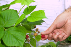 Raspberry Picking Royalty Free Stock Image