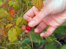 Raspberry picking 2. A woman picks a fresh patch of raspberries Royalty Free Stock Image