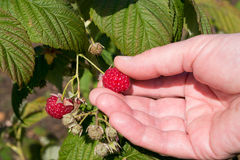 Raspberry Picking Stock Images
