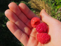 Raspberry picking hand Royalty Free Stock Photo