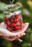Raspberry picking royalty free stock image