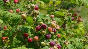 Raspberry plant Stock Photo