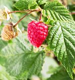 Raspberry plant. Branch of raspberries in a garden. Raspberry plant. Raspberry bush. Branch of raspberries in a garden Royalty Free Stock Photography