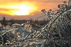 Raspberry plant encased in ice royalty free stock image