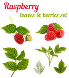 Raspberry plant - leaves and berries set. Isolated on white Royalty Free Stock Image
