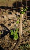 Raspberry plant Stock Image