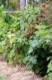 Raspberry plantation Royalty Free Stock Photo