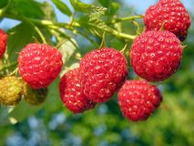 Raspberry plantation Royalty Free Stock Image