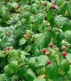 Raspberry plantation Royalty Free Stock Images