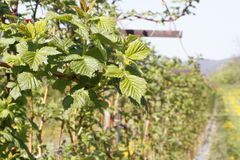 Raspberry plantation Stock Images