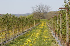 Raspberry plantation Stock Photo