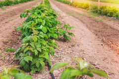 Raspberry field growing with drip irrigation system Royalty Free Stock Photo