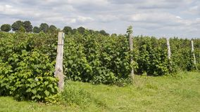 Raspberry plantation Royalty Free Stock Images