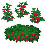Raspberry plants Stock Images