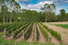 Raspberry plants plantation Stock Photo