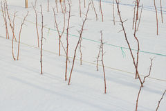 Raspberry plants in winter Royalty Free Stock Photography