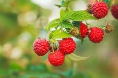 Raspberry. Raspberries. Growing Organic Berries closeup Stock Images