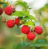 Raspberry. Raspberries. Growing Organic Berries closeup Stock Image