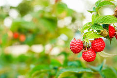 Raspberry. Raspberries. Growing Organic Berries royalty free stock photography