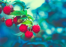 Raspberry. Raspberries. Growing Organic Berries Royalty Free Stock Image
