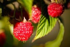 Raspberry. Raspberries. Growing Organic Berries Royalty Free Stock Photos