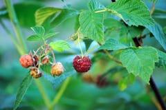 Raspberry. Raspberries. Growing Organic Berries closeup Royalty Free Stock Images