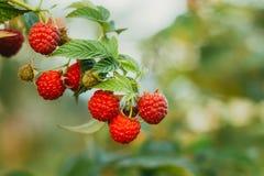 Raspberry. Raspberries. Growing Organic Berries. Stock Images