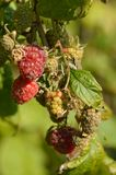 Raspberry. Ripe at the plant waiting to be eaten Stock Photography