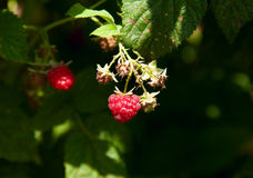 Raspberry red Background blur stock images