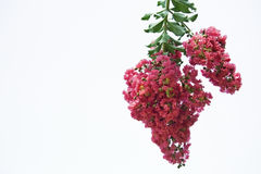 Raspberry Red Crepe Myrtle Branch. On white stock photos