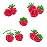 Raspberry set. Vector Stock Photography