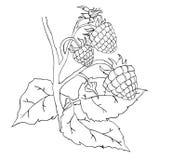 Raspberry sketch Stock Photography