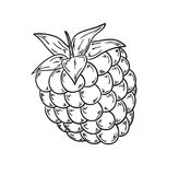 Raspberry sketch Stock Images
