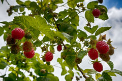 Raspberry and sky. Raspberry and green leaves against the blue sky Royalty Free Stock Photos