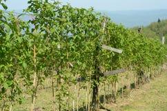 Raspberry stalks. In the spring Stock Image