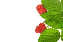 Raspberry with stem and leaves Stock Photo