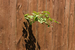 Raspberry stem. Sticking out of the slit fence Royalty Free Stock Images