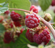 Raspberry on the sun Stock Image