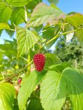 Raspberry in the sun. Raspberry on a stack in the sun at a picking garden in Belgium stock photos