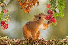 Raspberry taste Royalty Free Stock Photography