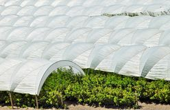 Raspberry Tents in Central California Royalty Free Stock Photo