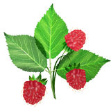 Raspberry. Thee red raspberry with steams Royalty Free Stock Photos